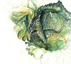 Cabbage Study by amwah