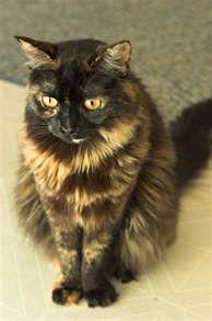 tortoise-shell-cat. This is what our cat Rocky Road looks like...