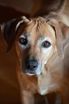 Rhodesian Ridgeback by You As A Machine on Flickr (cc)*