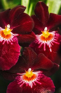 Dark Red Miltoniopsis Orchid