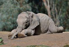 Pin by Maria Santa Cruz on Elephants Elephants Never Forget, Save The Elephants, Baby Elephants, Asian Elephant, Elephant Love, Baby Animals, Cute Animals, Animal Antics, San Diego Zoo