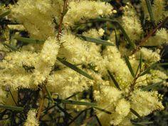 Acacia Abundance Wattle --- For more Australian native plants visit austraflora.com Australian Wildflowers, Plant Species, Native Plants, Acacia, Abundance, Wild Flowers, Lush, Herbs, Landscape