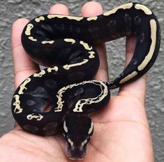 I really don't do snakes but this is the coolest looking snake ngl. Les Reptiles, Cute Reptiles, Reptiles And Amphibians, Reptiles Preschool, Pretty Snakes, Beautiful Snakes, Animals Beautiful, Ball Python Morphs, Snake Breeds