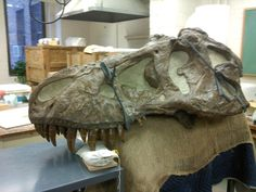 Twitter / Salerno_Thomas: #FossilFriday Cast of the skull ...