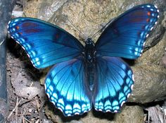 LIMENITIS BUTTERFLY by PAPARABBIT