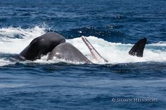 A recent photo expedition off Sri Lanka in search of blue whales instead produced a far more extraordinary sighting: that of killer whales in a dramatic 30-minute assault on sperm whales.