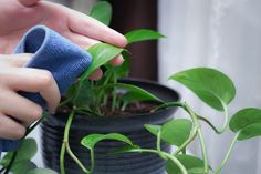 How to Care for a Golden Pothos (with Pictures) | eHow