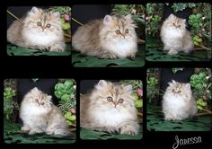 Past Kittens On this page you will be able to see some of our past Persian kittens that have already been sold and are in their new forever homes. We hope you enjoy viewing them! If you see a past kitten you like, feel free to check out our availa