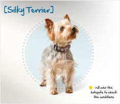 my Roo: Did you know the Silky Terrier was developed in Australia in the when British Yorkshire Terriers were crossed with Australian Terriers? Read more about this breed by visiting Petplan pet insurance's Condition Checker! Unusual Dog Breeds, Beautiful Dog Breeds, Beautiful Dogs, Pet Psychic, Australian Terrier, Silky Terrier, Cute Funny Dogs, Yorkshire Terriers, Terrier Dogs