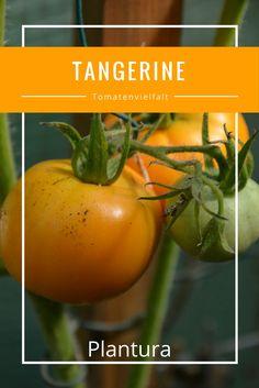 die 162 besten bilder von tomaten tomaten tomaten sorten und tomatensorten