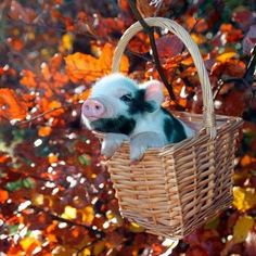 Adorable piglet in a basket
