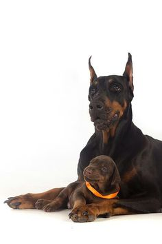 Doberman with her puppy