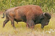 north america animals | The endangered wood bison, the largest land mammal of North America.