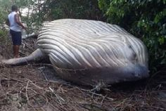 Meanwhile, a humpback whale was found dozens of meters inland in Brazil! Have the aliens switched from cows to whales now? See more Funny pictures Be Farm Animals, Funny Animals, Animal Pictures, Funny Pictures, Doctor Humor, Humpback Whale, Top Funny, Funny Faces, Videos Funny