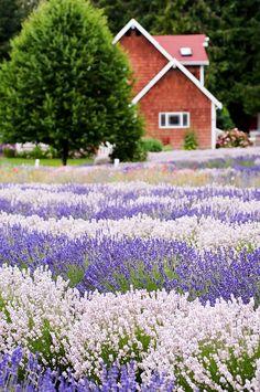 Purple Haze Lavender House by SequimLavender, via Flickr