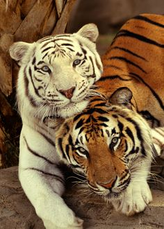 Never say good-bye...#tigers...#wild-cats #animals...Please check out my boards.