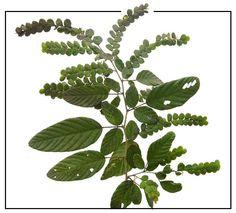 Payang-payang / Desmodium pulchellum: Medicinal Herbs / Philippine Alternative Medicine / StuartXchange