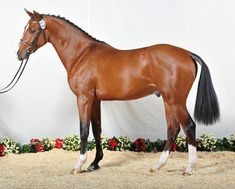 The Holsteiner is a breed of horse originating in the Schleswig-Holstein region of northern Germany. It is thought to be the oldest of warmblood breeds, tracing back to the 13th century.