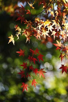 the leaves turn red and yellow
