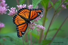 I found this beautiful specimen of Viceroy Butterfly on a large patch of Joe-pye weed…