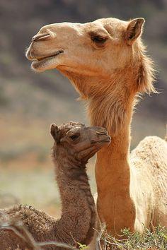 Female Camel with Calf in Oman---Hei Lupetta...il tuo cammello da viaggio, ha messo su famiglia, nel frattempo! Diamoci dentro anche NOI, ostia!!!!!
