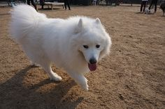 Check out more of our Adorable Samoyed Photos #Samoyed #sammy #puppy #cute #dog Big Dogs, Cute Dogs, Animals And Pets, Cute Animals, Dog Breeds List, Samoyed Dogs, Dogs Of The World, Animals Beautiful, Dog Love