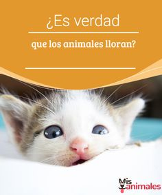 ¿Es verdad que los animales lloran?  La respuesta es sí, los animales lloran. La causa más frecuente es la pérdida de contacto afectivo, pero aquí te explicamos otras causas. #llanto #animales #causas #curiosidades