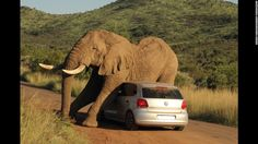 Wednesday, August 6, an elephant relieves an itch on a small car in South Africa's Pilanesberg National Park. The two passengers in the car were shaken up but not injured.