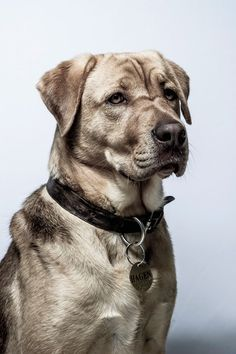 """Dog actor Hagen attends the """"White God"""" portrait session during the Annual Cannes Film Festival on May 2014 in Cannes, France. White God, Cannes France, Cannes Film Festival, Labrador Retriever, Actors, Portrait, Google Search, Dogs, Animals"""