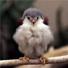 Baby falcon.. How fuzzy & cute