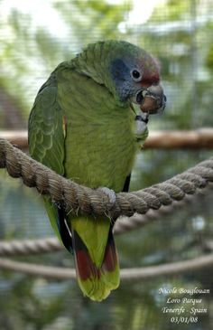 Red-tailed Amazon (Amazona brasiliensis) A bird eating a hazel-nut