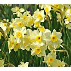 Narcissus Minnow A fragrant Tazetta type with white petals surrounding small, buttercup yellow centers. The petals open light yellow and gr. Rockery Garden, Garden Bulbs, Spring Flowering Bulbs, Spring Bulbs, Daffodil Bulbs, Daffodils, Bulb Flowers, National Flower Of Wales, White Flower Farm