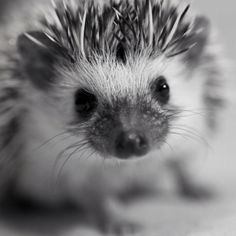 I still want a hedgehog :D Oh, the cuteness! It's too much! {brain explodes from cuteness}