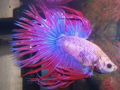 Most Beautiful Betta Fish in the World & Amazing Fact About Betta Fish