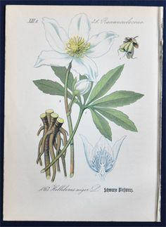 Antique Botanical Print 1882 Black Hellebore Helleborus Niger L