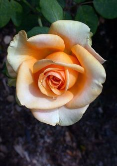 bare root hybrid tea roses on sale Beautiful Rose Flowers, Flowers Nature, Spring Flowers, Rose Reference, Rose Flower Wallpaper, Rose Pictures, Hybrid Tea Roses, Growing Roses, Lavender Roses