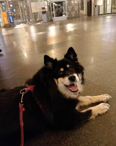 Waiting train. Nelli's first traintrip.. exciting. :) #matkakeskus #vr #train #lapphund #lapphundsofinstagram #jyväskylä #trip #finland #finnishlapphund #lapinkoira