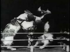 Here's some more fodder for your retro feline obsession. One of the earliest short films ever recorded was a boxing match between cats shot in July 1894 by Thomas Edison and his motion picture technicians.