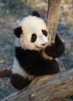 l Panda tout mignon!