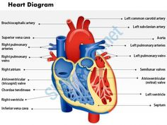 0514 heart human anatomy medical images for powerpoint Slide01