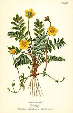 GÄNSEFINGERKRAUT Botanik Farbdruck Antiker Druck Antique Botanical Print