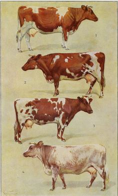 Charming cows with beautiful confirmation! Original c-1900 antique German lithograph featuring 4 breeds of dairy cows with great detail and