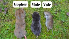 2e38f5075 How To Identify If You Have Gophers, Moles, Or Voles Digging Up Your Yard.
