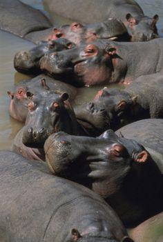 hippopotamus hippopotamus amphibius dozing in the mara river masai mara, kenya