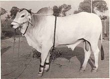 Ongole cattle (Indian-meat & draught) Wikipedia, the free encyclopedia