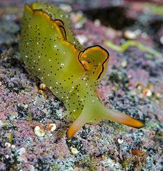 Tulamben Drop Off Plakobranidae Ornate Elysia_2   Dive Horizon   Flickr