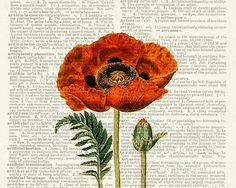 poppy I - vintage artwork printed on page from old dictionary