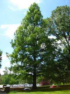 Dawn Redwood For Sale Fast Growing Shade Trees, Myrtle Tree, Privacy Trees, Specimen Trees, Evergreen Trees, Garden Planters, Dawn, Leaves, Landscape