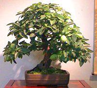 common_pear_bonsai2