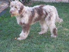 Australischer Schäferhund + Pudel = AussiePu